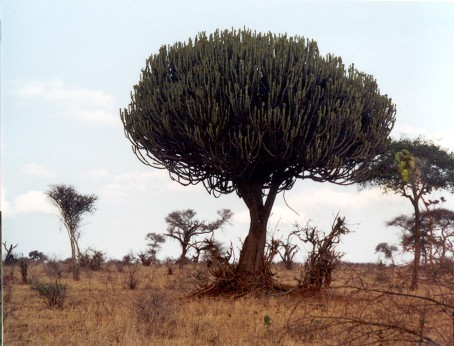 the candelabra tree looks like it has the trunk of a tree